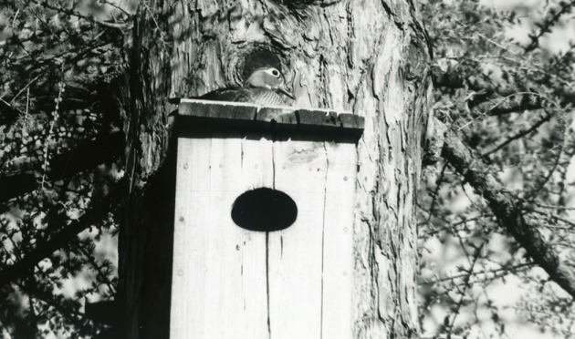 how to build a wood duck box