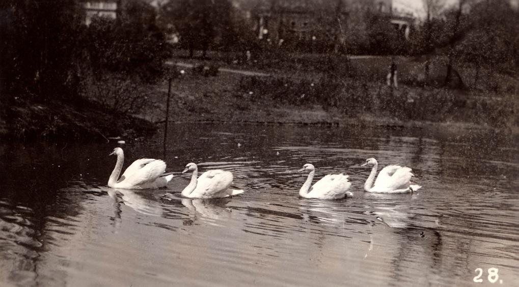 Swans on Lake LaVerne during VEISHEA.