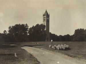 Sheep graze near the Campanile in 1905. RS 4/8/I