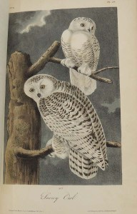 Audubon Birds of America_plate28