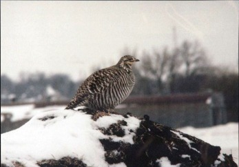 Greater Prairie Chicken sighted in Cherokee County, Iowa in 1994. (MS 166, box 9)