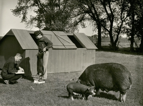 A. W. Dahlgran work with an FFA high school student on his Duroc pig project. Undated. (University Photographs RS 9/6/F box 544)