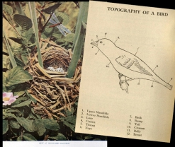 Pages from some of Rosene's ornithology books.  L: Arthur Radclyffe Dugmore. Bird Homes. Nature Library V.3. Garden City, New York: Doubleday, Page & Company, 1913. (Special Collections QL681 D86x, 1913) R: B. H. Bailey Two Hundred Wild Birds of Iowa. Cedar Rapids, Iowa: Superior Press, 1910. (Special Collections QL684.I6 B35x)