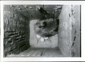 Wood duck nesting in one of Leopold's duck houses, 1966. Box 6, Folder 9.