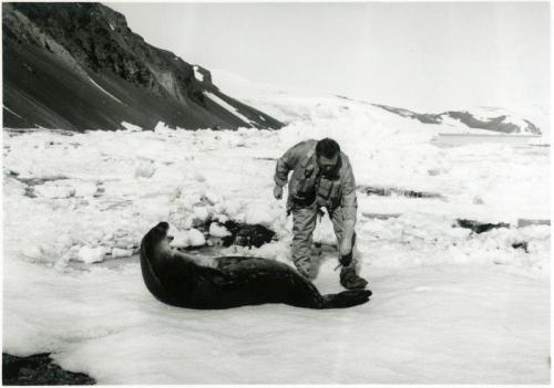 A zoology student approaches a rather grumpy seal, 1969 or 1970. University Photographs, Box 608