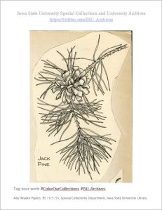 An illustration of a Jack Pine twig and pine cone, by Ada Hayden. RS 13/5/55, Box 5.
