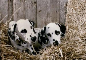Dalmatian puppies, undated. University Photographs, RS 14/1/N, box 1246.3