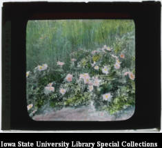 Rosa arkansana (Prairie Rose), Ada Hayden Digital Collection.