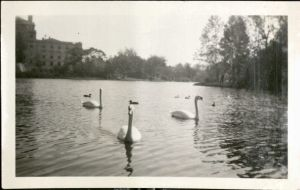 Swans on Lake LaVerne (University Photographs box 197)