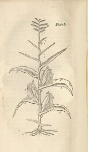 Engraving of a corn plant.