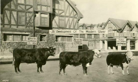 Show steer preferences in the late 19th and early 20th centuries, 1930. University Photographs, RS 9/11/N, Box 656