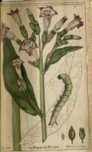 Colored image shows the stalk, leaves, and flowers of the tobacco plant, as well as the caterpillar that feeds on the plant.