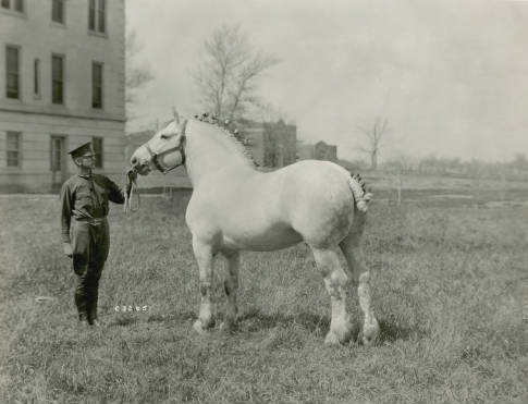 Jalap_prizewinning_Percheron_stallion_1919