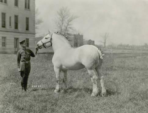 Jalap_prizewinning_Percheron_stallion_1919