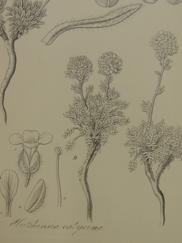 Line drawing of Hutchinsia calycina showing a stem with a group of feathery leaves and two compound flowers on stems.