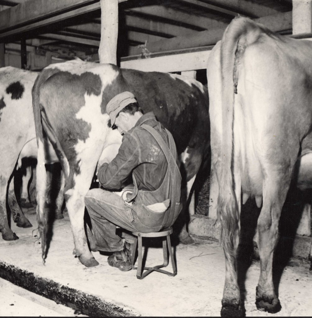Black-and-white photo of a man (presumably a student) sitting on a stool, wearing overalls, work shirt, and cap milking a cow a red and white spotted cows. The pair are flanked by cows on either side.