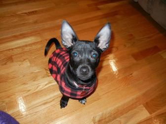 Odin in a sweater (courtesy of Rosalie Gartner).