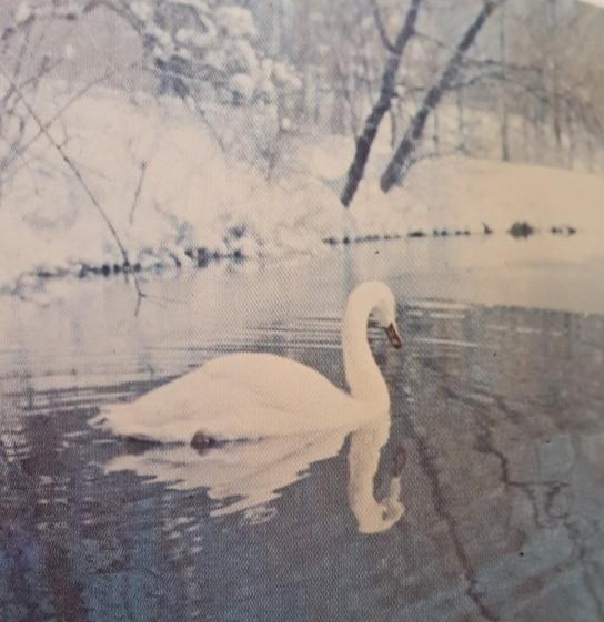 Swan swimming in lake - 1974 Bomb pg. 102