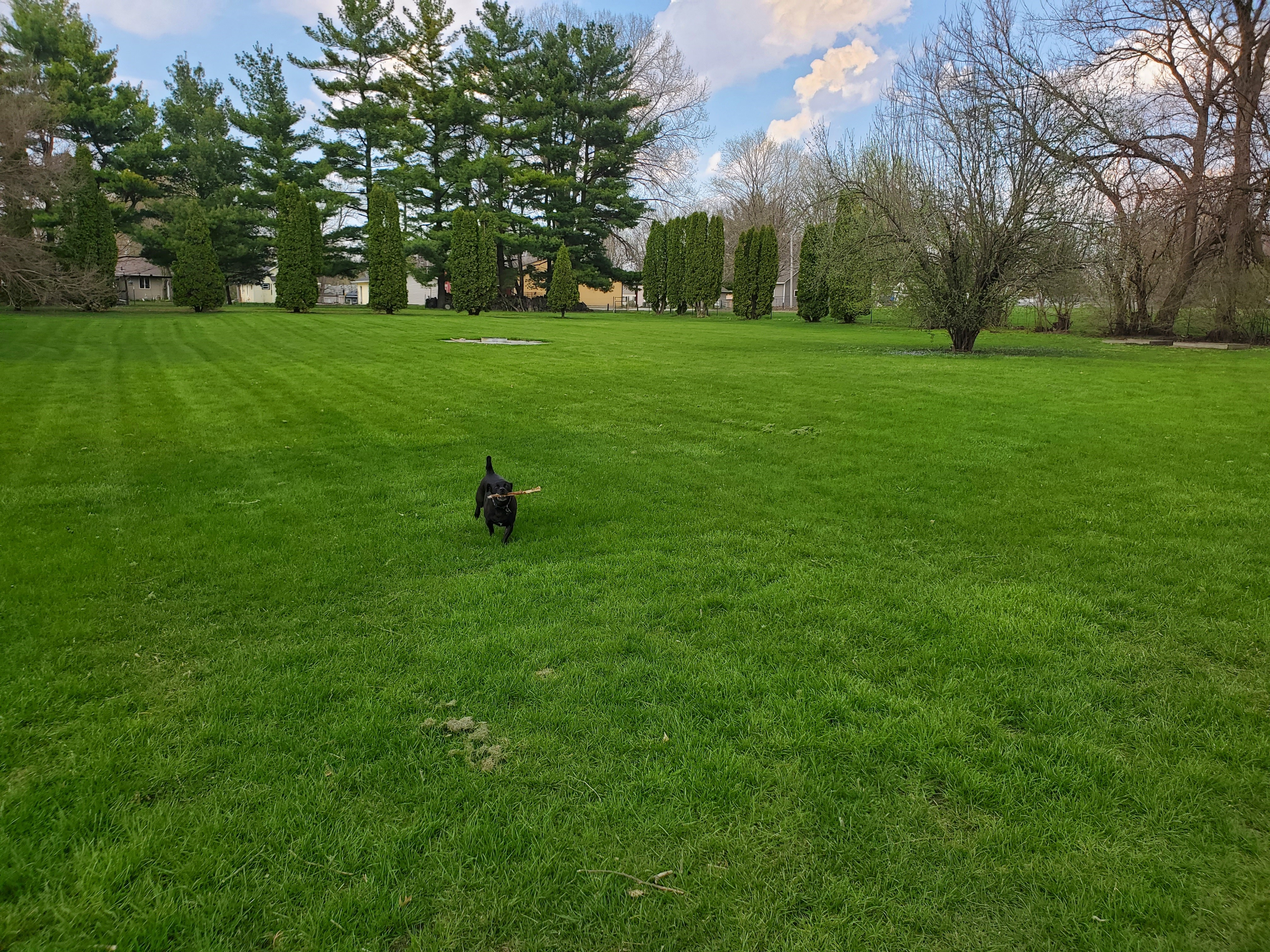 Little black dog on green lawn, trees in background, bringing back stick.